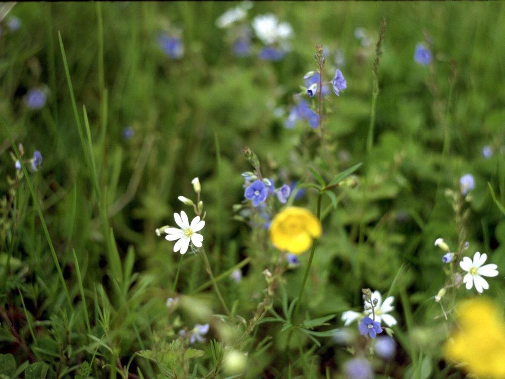 Полевые цветы сибири фото и названия